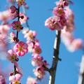Photos: 41花菜ガーデン【梅:道知辺】1