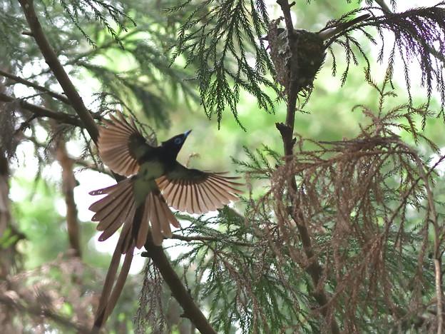 サンコウチョウ飛翔