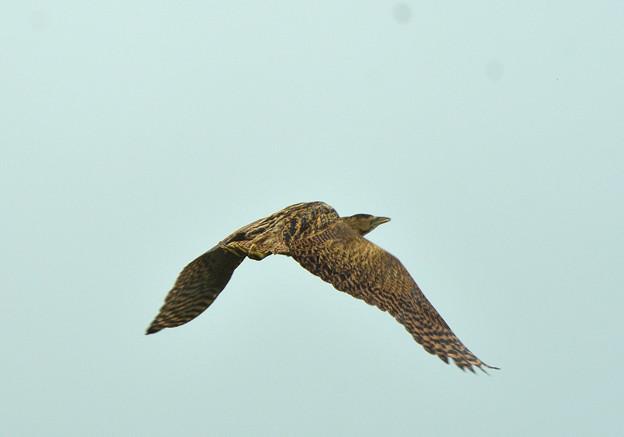 ヨシの群生から飛び立ったサンカノゴイ