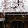 写真: 宝珠寺ヒメシダレサクラ