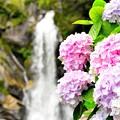 見返りの滝 アジサイ