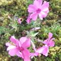 小鳥さんの贈り物 芝桜