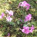 小鳥さんの贈り物 芝桜2