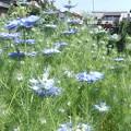 家庭菜園のニゲラ2