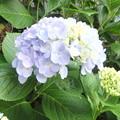 近所の紫陽花3