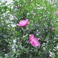 ムクゲの花2