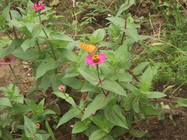 写真: 百日草とツマクロヒョウモン蝶