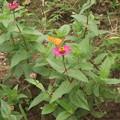 百日草とツマクロヒョウモン蝶