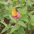 写真: 百日草とツマクロヒョウモン蝶2