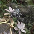 写真: 庭のアゲハ蝶4