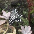 写真: 庭のアゲハ蝶5