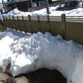 写真: 積雪半減に