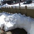 Photos: 積雪半減に