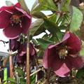 鉢植えのクリスマスロードの花 2