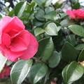 写真: 庭の山茶花の花