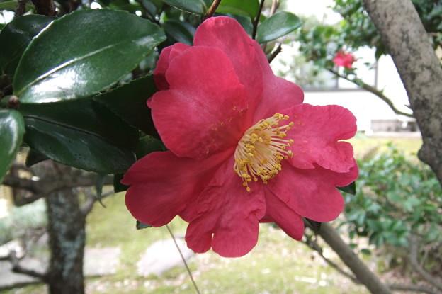 写真: 庭の山茶花の花 2