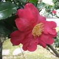庭の山茶花の花 2