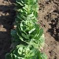 家庭菜園の白菜の新芽
