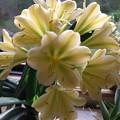 黄色い君子蘭 1