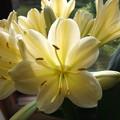 黄色い君子蘭 2