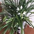 白いシンビジュームの花