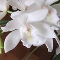 白いシンビジュームの花 2