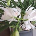 白いシンビジュームの花 3