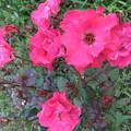 写真: 一重のバラ