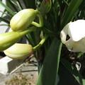シンピジュームの花が開花