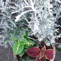 シロタエギクとコリウスの寄せ植え