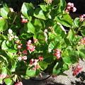 ベコニアの花