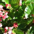ベコニアの花2