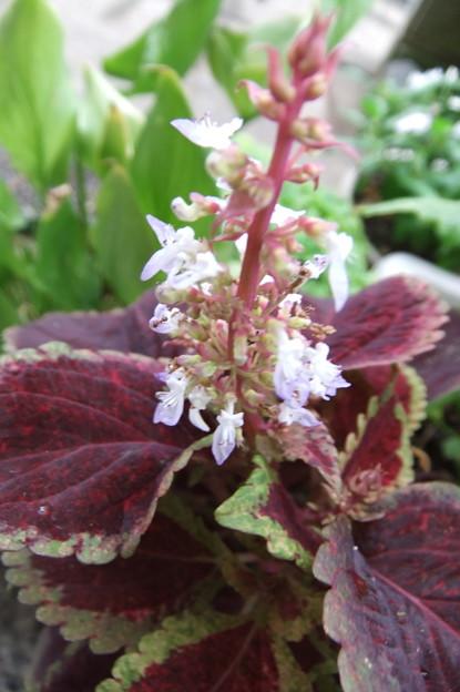 Photos: コリウスの花