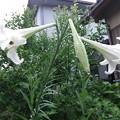 写真: タカサゴユリ 2