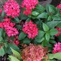 ケイトウとペンタスの花