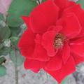 写真: バラの花  二