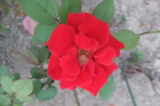 バラの花  三