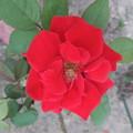 写真: バラの花  三