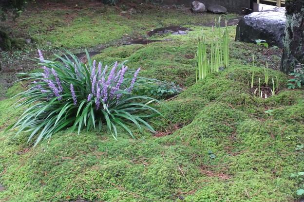 写真: 彼岸花の蕾とヤブランのコラボ