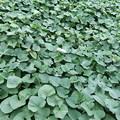 さつま芋畑