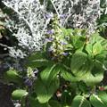 写真: コリウスの花