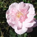 写真: 薔薇 1