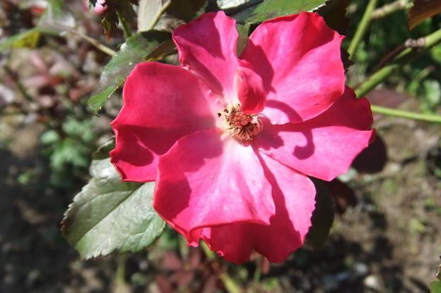 写真: 一重の薔薇