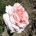 写真: 薔薇 3