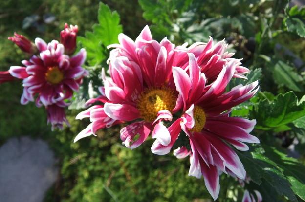 鉢植えの小菊が咲きました