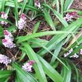 写真: 吉祥草の花が満開
