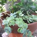 写真: カランコエと楓とミセバヤの寄せ植え