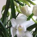 白いシンビジュームの花が咲きました