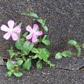 コンクリートの割れ目にナデシコの花が