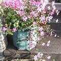 袋ナデシコの花が枝垂れ、プランターにもナデシコの花
